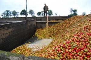 De appeloogst bij Domaine Coqurel