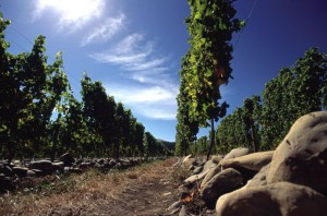 Taylors Pass Vineyard